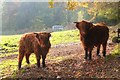 NT2340 : Young Highland cattle, Jedderfield by Jim Barton