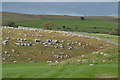 NY6611 : Sheep amongst outcrops by Nigel Brown