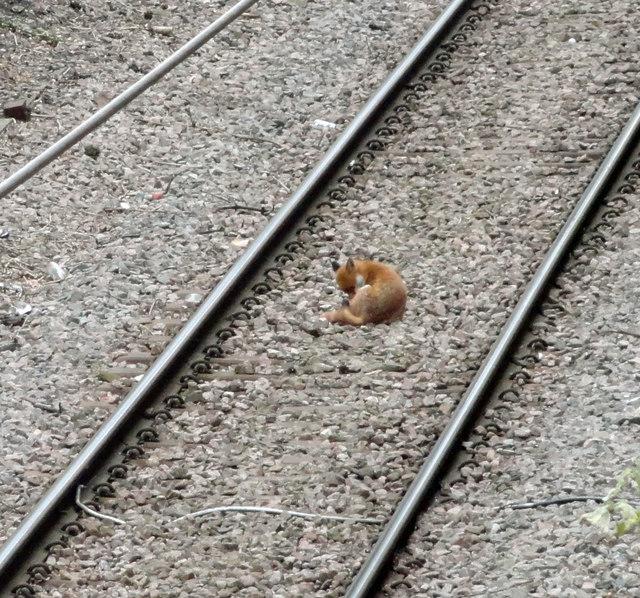 Fox on the Romford to Upminster line