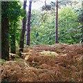 SZ0891 : Golden bracken in Horseshoe Common by David Lally