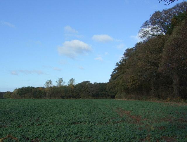 Crop field beside Yew Wood