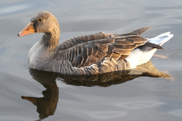 A Greylag goose of Arrow Valley Lake