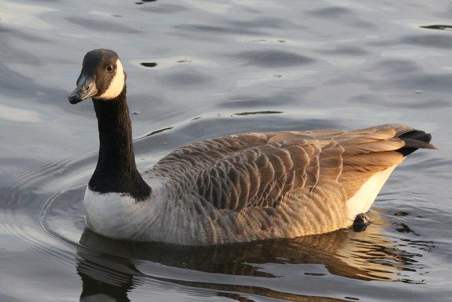 Canada Goose on Arrow Valley Lake