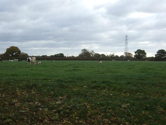 Cattle grazing, Lach Dennis
