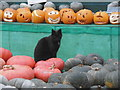 SU9608 : Cat at the Slindon Pumpkin Festival by Marathon