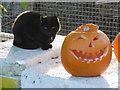 SU9608 : Cat and a pumpkin by Marathon