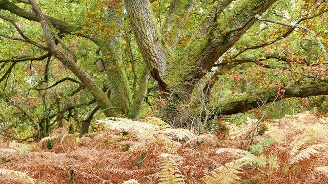 Oaks and bracken, Easter Oak Wood