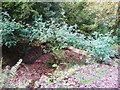SN1507 : Fallen ash tree, Colby Woodland Garden, Amroth by Humphrey Bolton