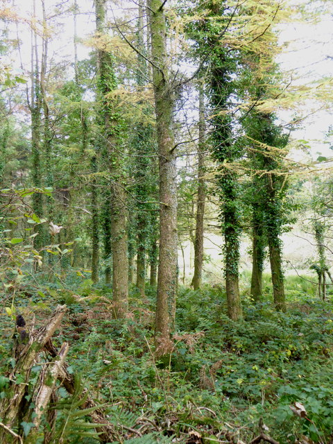 Coniferous woodland on the edge of Lemarnedown Plantation
