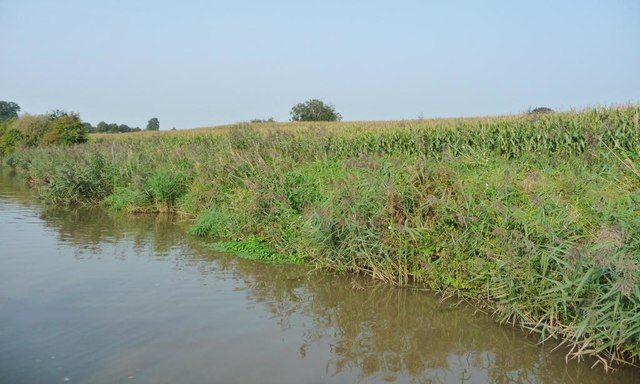 Maize on the east bank of the Trent & Mersey Canal