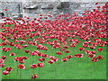 SH4762 : Poppies:  Weeping Window by Ceri Thomas