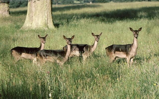 Fallow Deer, Badminton, Gloucestershire 1987