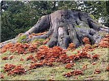 SE2768 : Fungi  around  a  tree  stump  Studley  Royal  Water  Garden by Martin Dawes