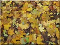 ST5971 : Fallen leaves, Victoria Park by Philip Halling
