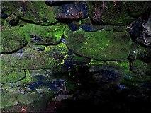 SW4028 : Fluorescent green alga, Carn Euny fogou by Andrew Curtis