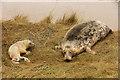 TF4299 : Grey seal pup by Richard Croft
