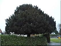 TQ2255 : Tree on Chequers Lane, Walton on the Hill by David Howard