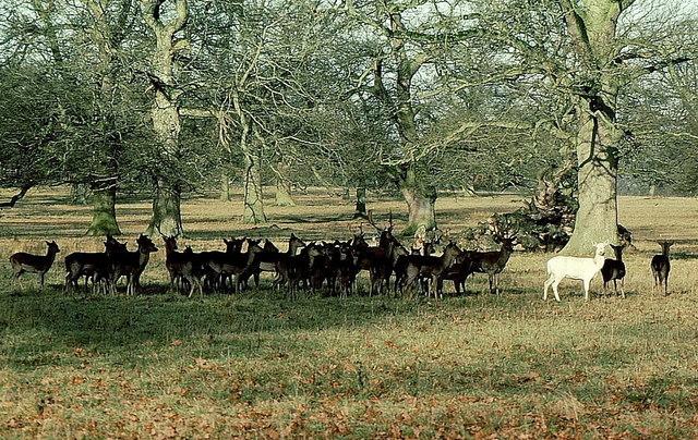 Fallow Deer, Badminton Park, Gloucestershire 1984