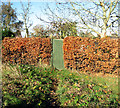 TG1903 : Autumnal beech hedge by Evelyn Simak