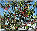 TG1903 : Common Holly (Ilex aquifolium) by Evelyn Simak