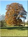 SO5659 : Oak tree by Philip Halling