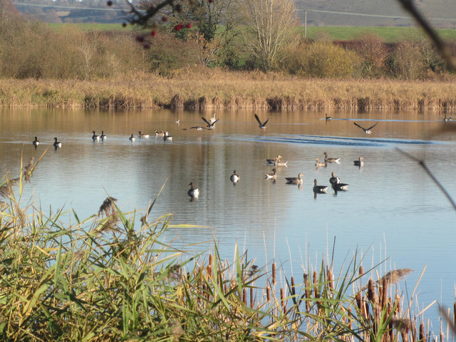 Greylag and Canada Geese on Marsworth Reservoir