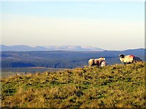 NY5675 : Sheep on The Pike by Andrew Curtis