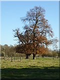 SO8845 : Oak trees in Croome Park by Philip Halling