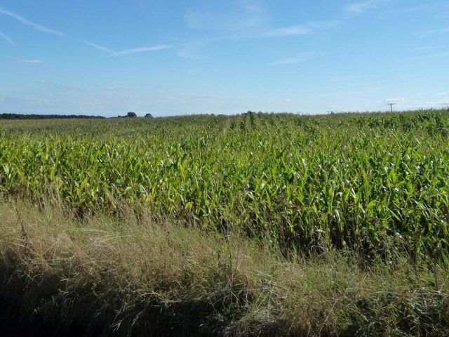 Welsh maize, east of Bettisfield