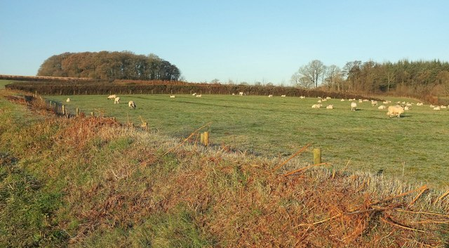 Sheep near Hansford Plantation