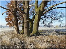 SO8844 : Tree trunks in Croome Park by Philip Halling