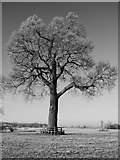 SO8844 : Tree in Croome Park by Philip Halling