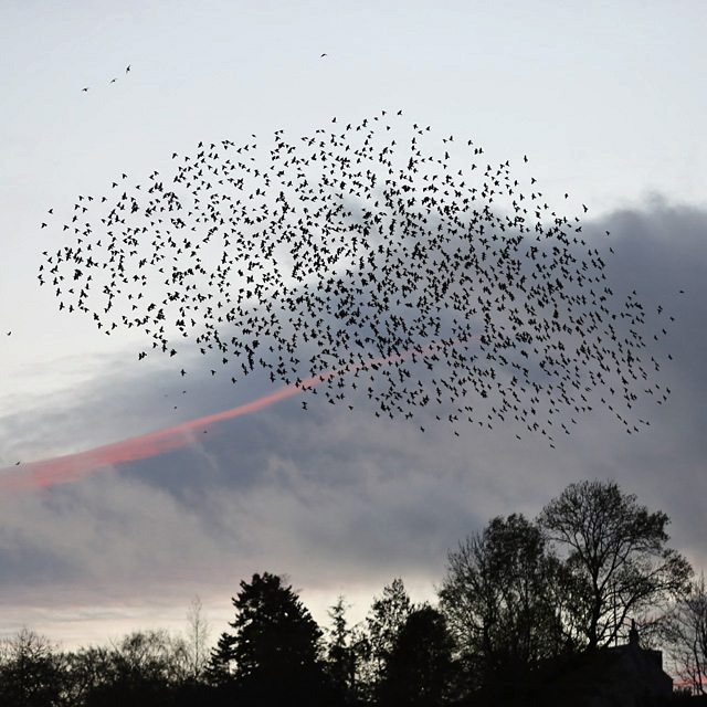 A starling murmuration at Selkirk
