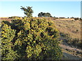 TQ4628 : Gorse and a clump of trees on Ashdown Forest by Marathon