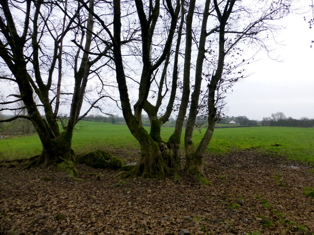 Trees, Bancran