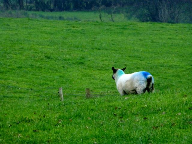 Sheep with markings, Drumduff