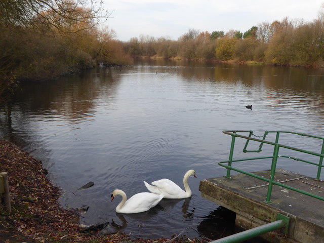 Swans at Fairlop Waters Country Park