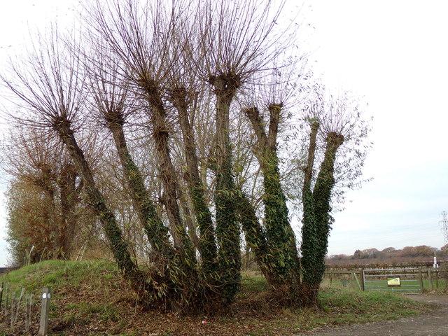 Pollarded Trees at Lubards Farm Industrial Estate