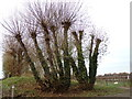 TQ8093 : Pollarded Trees at Lubards Farm Industrial Estate by Adrian Cable