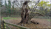 TQ0481 : Dead tree close to Iver Lane by Rob Emms