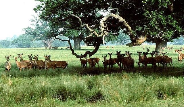 Red Deer, Badminton Park, Gloucestershire 1986