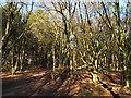 SJ8963 : Path through the Cloud plantation by Stephen Craven