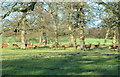 ST8083 : Red Deer Stags, Badminton Park, Gloucestershire 2015 by Ray Bird