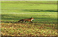 ST8183 : Fox, Badminton Park, Gloucestershire 2008 by Ray Bird