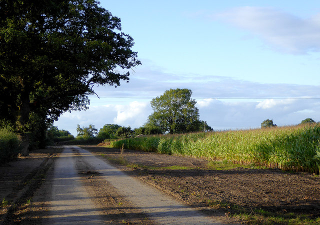 Farm track and maize field near Audlem, Cheshire