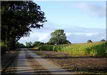 SJ6641 : Farm track and maize field near Audlem, Cheshire by Roger  Kidd