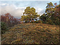 NH6149 : Scots Pine on Coille Cnoc na h-Eireachd by valenta