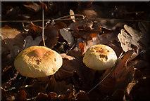 TQ2996 : Fungus near Footpath to Oakwood by Christine Matthews