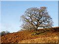 NZ0742 : Slope of dead bracken with lone tree by Trevor Littlewood