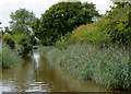 SJ5345 : Canal reed beds north-west of Bradeley Green, Cheshire by Roger  Kidd
